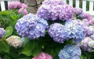 Как выращивать гортензию на даче