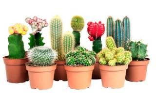 Цветные кактусы: разновидности, советы по выращиванию и уходу