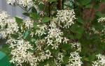 Клематисы мелкоцветковые: сорта, посадка, уход и размножение