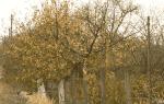 Посадка войлочной вишни осенью