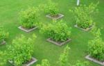 Расположение плодовых деревьев и кустарников на участке