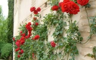 Подготовка роз к зиме в подмосковье