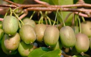 Как размножить актинидию черенками весной