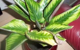 Желтеют листья у калатеи что делать